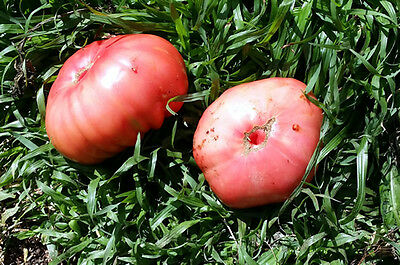Giant Pink Tomato - A Rare Pink Coloured, Large, Thick Fleshy Tomato - 10 Seeds!