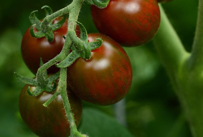 Chocolate Sprinkles Hybrid Tomato - An Stunning & Exceptionally Colourful Tomato