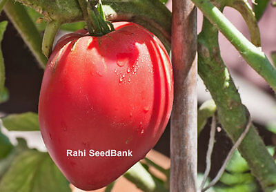 Pink Oxheart Tomato - A Heart Shaped and Bright Pink Coloured Fleshy Tomato!!!