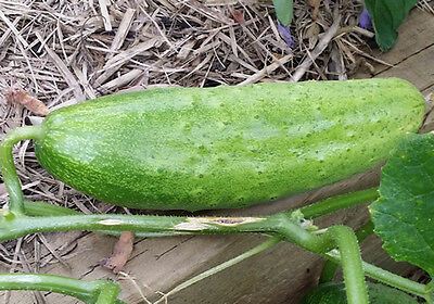 Cucumber Asian Giant - This Huge Cucumber Variety will Grow up to 1 KG - 5 Seeds