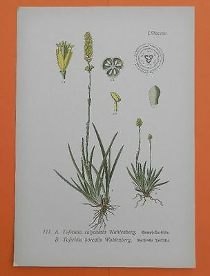 Simsenlilie (Tofieldia calyculata) Torf Lilie THOME Lithographie 1890