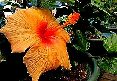 Hibiscus rosa-sinensis `Evening Sunset' x 1 young plant