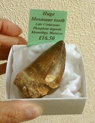 Huge Fossilised Mosasaur Tooth - 6 x 3.5 cm - From Khourigba, Morocco