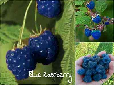 10 BLUE Raspberry Seeds (Rubus Leucodermis) Sweet Fruit Tasty Garden Plant