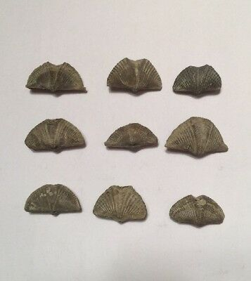 Lot Of 9 Fossil Devonian Brachiopods From Arkona, Ontario, Canada