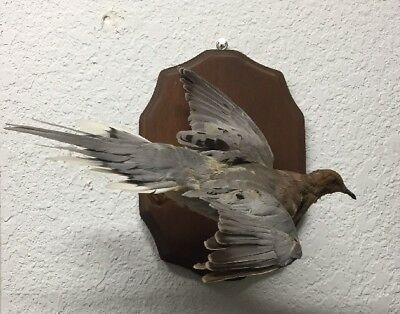 Wings Up Vintage Dove Real Bird Taxidermy Bird Mount Turtle Oddity Flying Wall