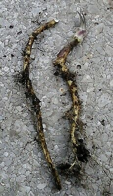 Horseradish - growing root - ready to plant - FREE POST