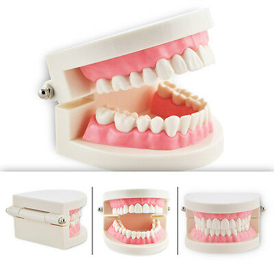 US SALE Dental Teach Study Adult Standard Typodont Demonstration Teeth Model