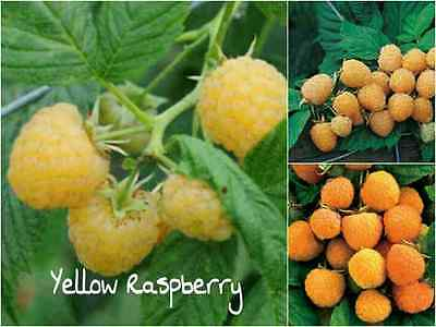 10 YELLOW Raspberry Seeds (Rubus Ellipticus) Sweet Fruit Tasty Garden Plant