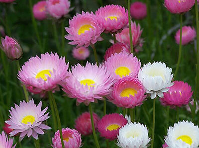 Paper Daisy Everlasting Flowers in Germination Media 60 Seeds - Pink and White
