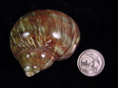 "Green tapestry turbo polished hermit crab opening 1 1/16"" (E)"
