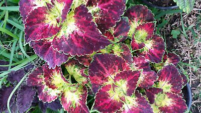Rare Coleus Dipt in Wine - 2 UNROOTED CUTTINGS  indoors shade sun FREE POSTAGE