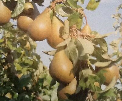 4ft - 5ft bare root conference pear Fruit Tree 2 Year old