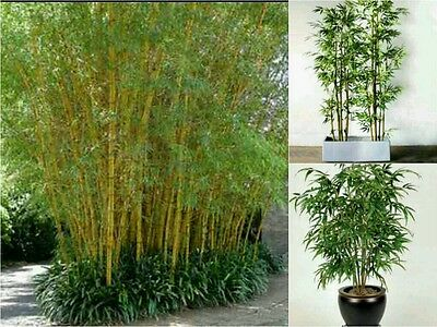 10 MOSO BAMBOO SEEDS (Phillostachys Edulis). Fast Growing Great Screen Garden