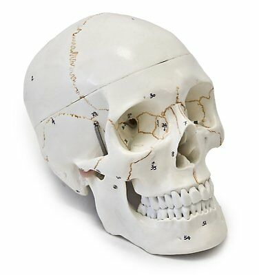 Human Skull Model 3-part Numbered Life Size Medical Anatomy Study Teaching Head