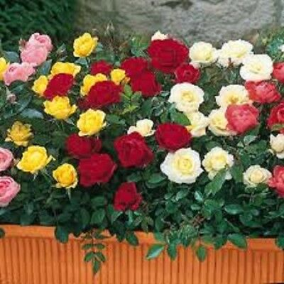 Lot Of 10 Mixed Bush Rose Bare Root Pre-Packed Plant's Good Quality Garden Roses