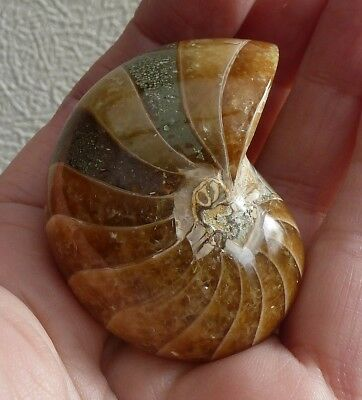 Madagascan Polished Nautilus - 5 x 4 cm