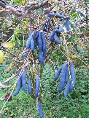 Small Tree - Decaisnea fargesii - Franch. - Blue Sausage Plant - Edible Fruit.