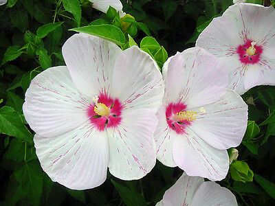 "25 "" PEPERMINT FLARE "" HIBISCUS SEEDS - Hibiscus x moscheutos"