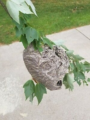 Large paper wasp nest bee hive