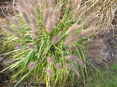 50 Black Plume Grass 'moudry' Seeds