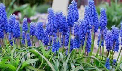 "BULBES (x 5)  ""MUSCARI BLUE"" (pack n°3)"