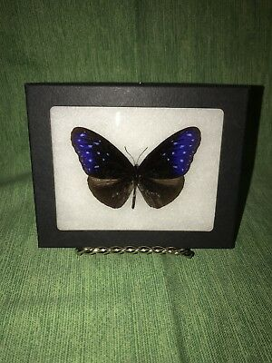1 Real Butterfly Picture Framed in 4 1/2 x 5 1/2 (Purple/Blue Striped Crow)