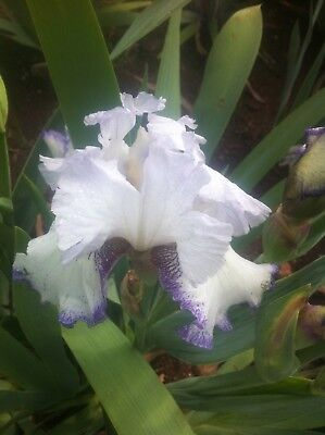 *** Point In Time ***  Tall Bearded Iris