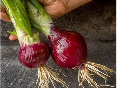 onion californian red 100 seeds