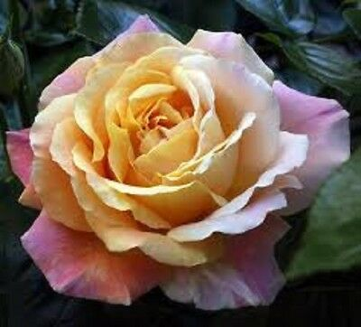 Peace Yellow, Scented, Bush Rose Bare Root Plant, Quality Roses