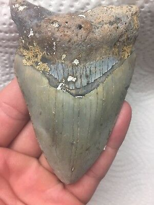 """4.12 Inch """"Good Quality"""" Genuine MegalodonTooth (MT3039)"""