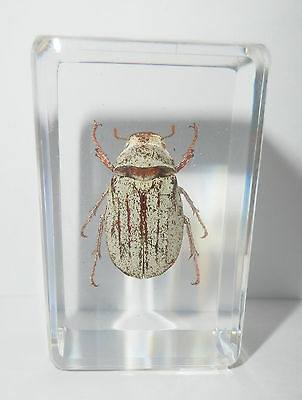 White Scarab Beetle Cyphochilus crataceus Clear Block Education Insect Specimen