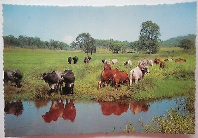 BRAHMAN BULLS ON PASTURE. AUSTRALIA - Murray views unused postcard