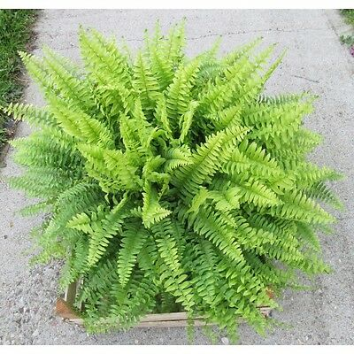 Living Organic Pteridium Aquilinum Bracken Fern Plant - Ready to Plant