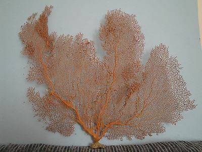 "20""x 14.6"" Large Pacifigorgia Red Sea Fan Seashells Reef Coral"