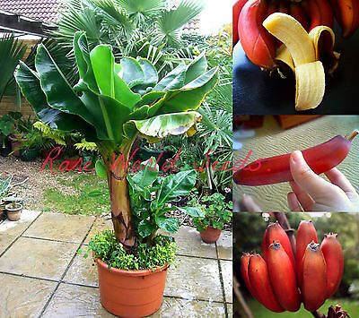 DWARF Beautiful and Delicious RED Banana small tree Musa 'Dwarf Red' SEEDS.