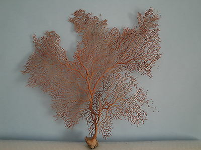 "13.7""x 15"" Pacifigorgia Red Sea Fan Seashells Reef Coral"