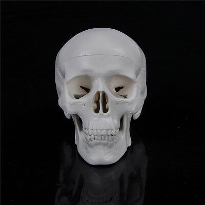 Teaching Mini Skull Human Anatomical Anatomy Head Medical Model Convenient XB