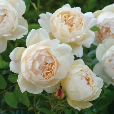David Austin Rose Woolerton Old Hall Strong Fragrance Climbing Fragrant Floral