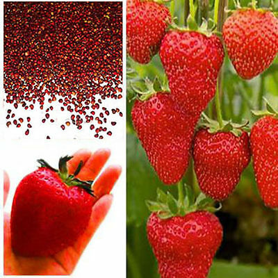 100 seeds Giant Red Strawberry Seeds, Garden Fruit Plant, Rare And Delicious