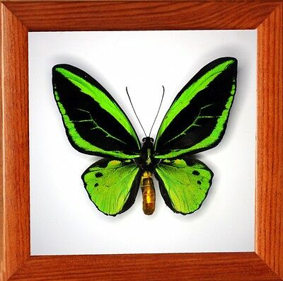 Real Insect: Ornithoptera priamus poseidon male in frame made of expensive wood