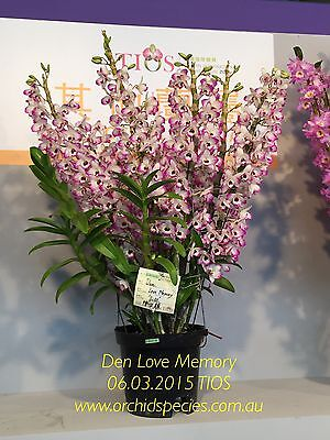Champion 2015 TIOS Strong Fragrance Orchid Dendrobium Love Memory 75mm pot - QOB
