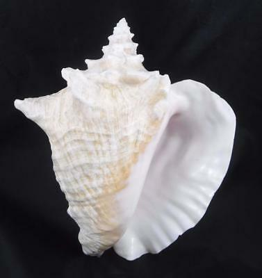 Large Pink Queen Conch Sea Shell over 2 lbs  Natural Beach Decor 01