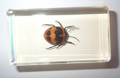 Camellia Shield Bug in 74x43x16 mm Amber Clear Block Education Insect Specimen