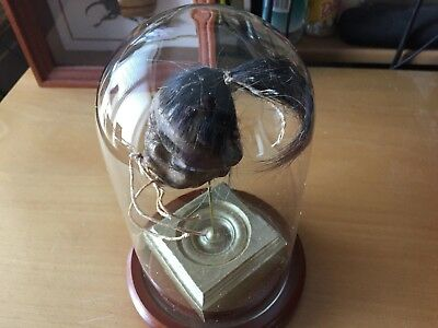 Oddities and Morbid Oddity: Ceremonial Shrunken Head in a Glass Dome Display