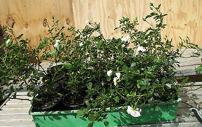 20 White Carpet Rose Plants ---- Wow!