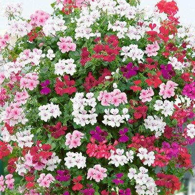 Ivy geranium cuttings - mixed colours (pink, white, lavender, salmon)