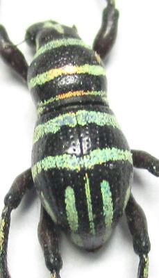B005 Metapocyrtus (Sclerocyrtus) chamissoi male 10mm A-