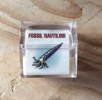 Fossil Nautiloid In Case