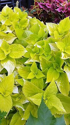 COLEUS LIME TIME- 2 UNROOTED CUTTINGS plant shade sun FREE POSTAGE